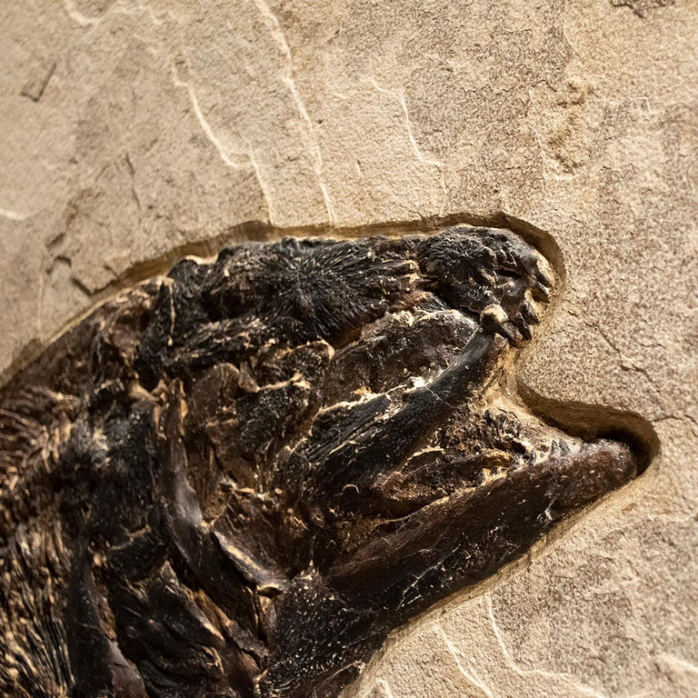50 Million Year Old Fossil Fish Amia, Bowfin, Mural in Stone, from Wyoming In New Condition For Sale In Logan, UT