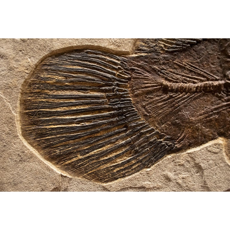 Contemporary 50 Million Year Old Fossil Fish Amia, Bowfin, Mural in Stone, from Wyoming For Sale