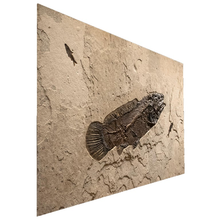Organic Material 50 Million Year Old Fossil Fish Amia, Bowfin, Mural in Stone, from Wyoming For Sale