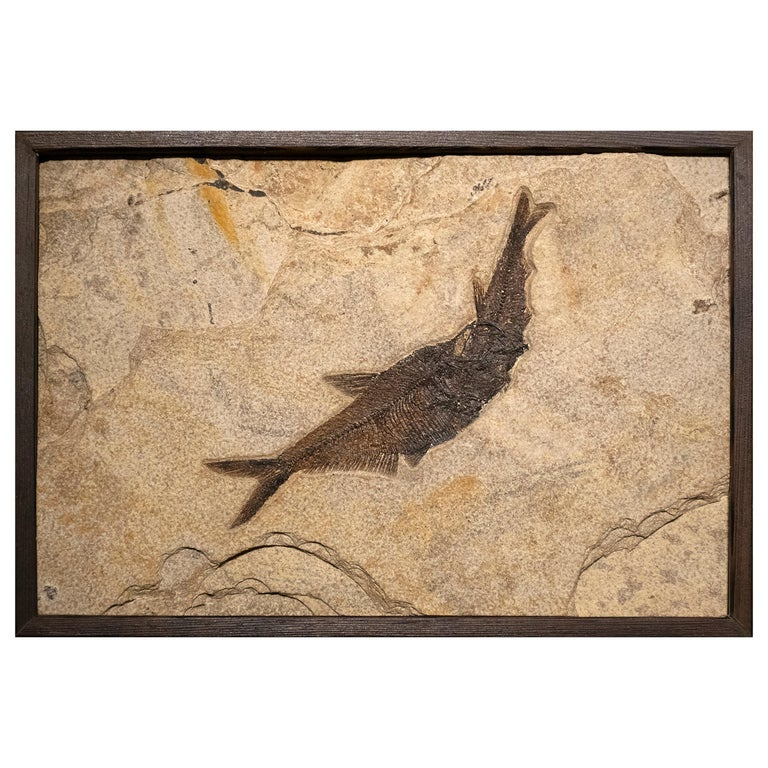 50 Million Year Old Eocene Era Fossil Fish Aspiration in Stone, from Wyoming For Sale