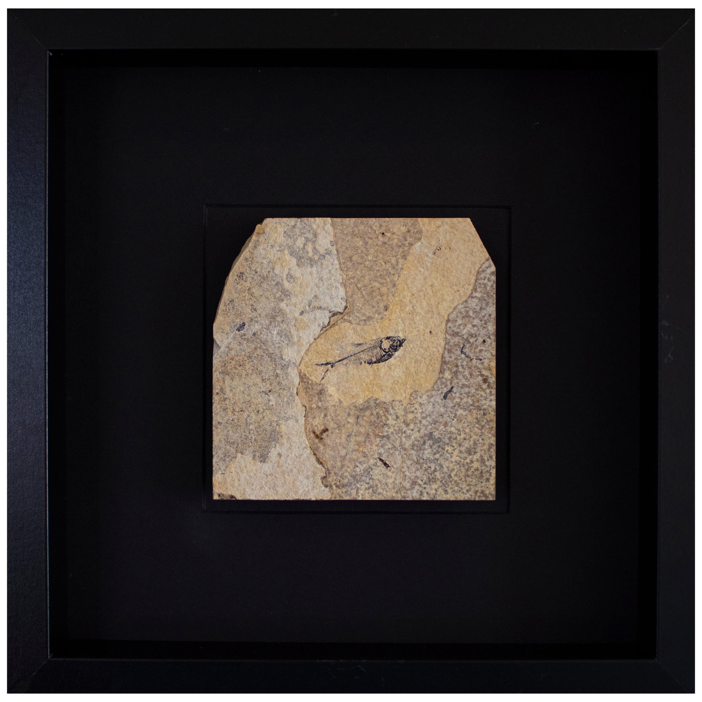 50 Million Year Old Eocene Era Fossil Fish Black Shadow Box, from Wyoming