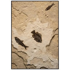 550 Million Year Old Eocene Era Fossil Fish Mural in Stone, from Wyoming
