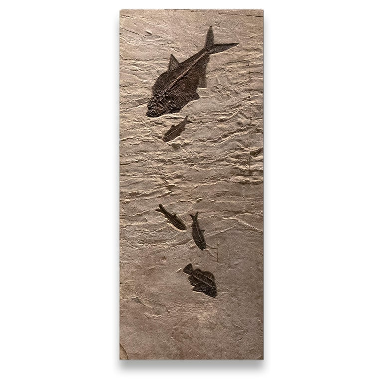 Contemporary 50 Million Year Old Eocene Era Fossil Fish Triptych Mural in Stone, from Wyoming For Sale