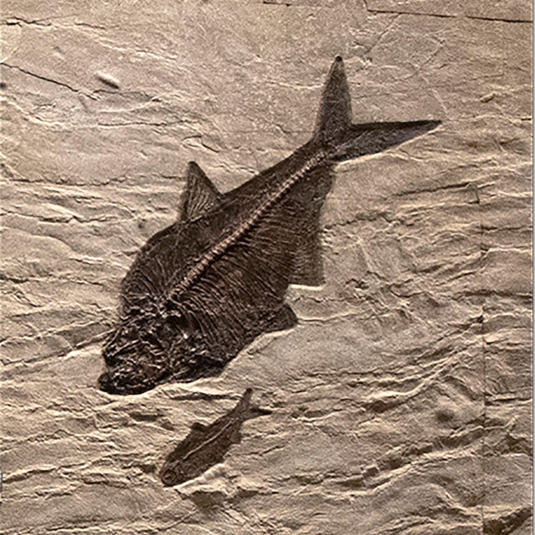 50 Million Year Old Eocene Era Fossil Fish Triptych Mural in Stone, from Wyoming For Sale 1