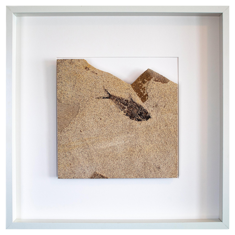 50 Million Year Old Eocene Era Fossil Fish White Shadow Box, from Wyoming