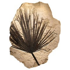 50 Million Year Old Eocene Era Fossil Palm Frond Mural in Stone, from Wyoming