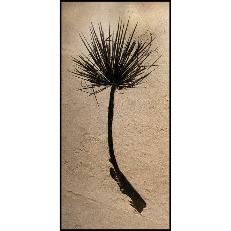 American 50 Million Year Old Eocene Era Fossil Palm Frond Pair in Stone, from Wyoming For Sale