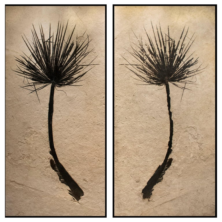 50 Million Year Old Eocene Era Fossil Palm Frond Pair in Stone, from Wyoming For Sale