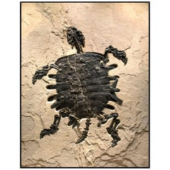 50 Million Year Old Eocene Era Fossil Turtle Specimen in Stone, from Wyoming