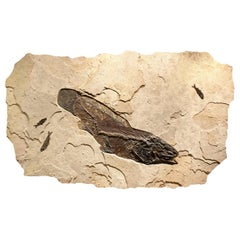 50 Million Year Old Eocene Era Fossil Fish Amia Mural in Stone, from Wyoming