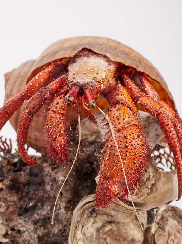 Diorama with Hermit Crab, Italy, 1870 In Excellent Condition For Sale In Milan, IT