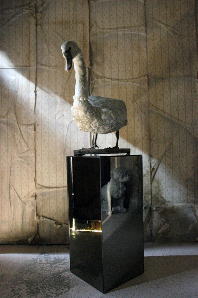 Large Mature 19th Century Taxidermy Mute Swan, circa 1900 8
