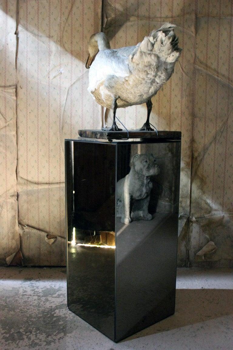 Large Mature 19th Century Taxidermy Mute Swan, circa 1900 10