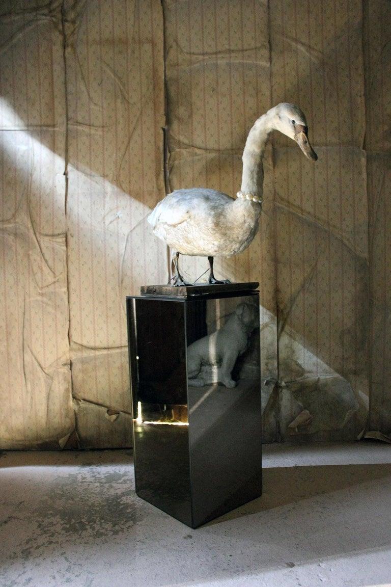 Large Mature 19th Century Taxidermy Mute Swan, circa 1900 12