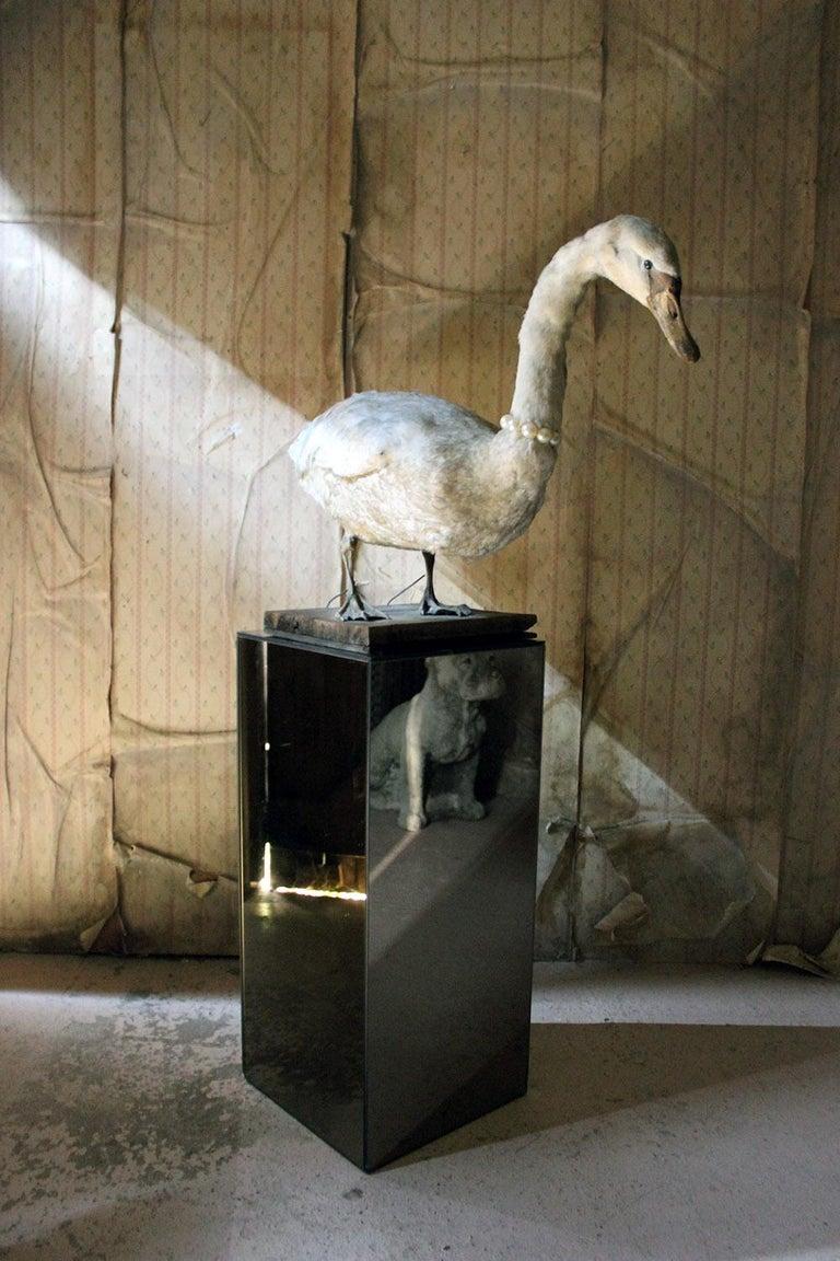 Large Mature 19th Century Taxidermy Mute Swan, circa 1900 13