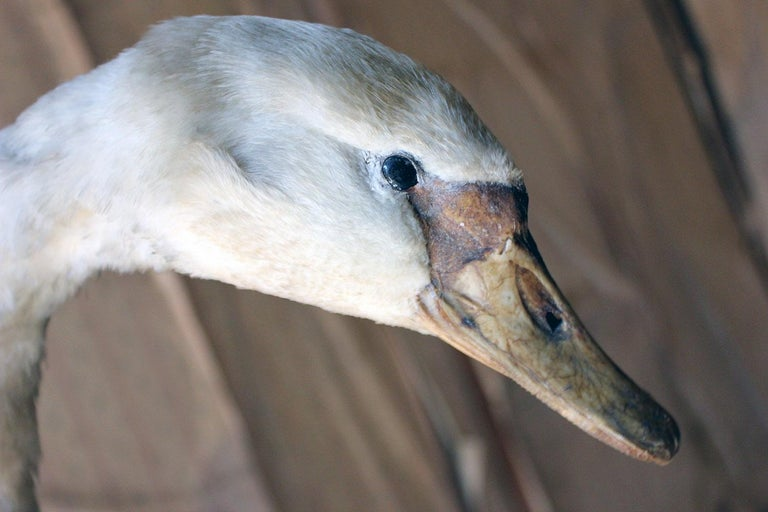 Large Mature 19th Century Taxidermy Mute Swan, circa 1900 In Fair Condition In Bedford, Bedfordshire