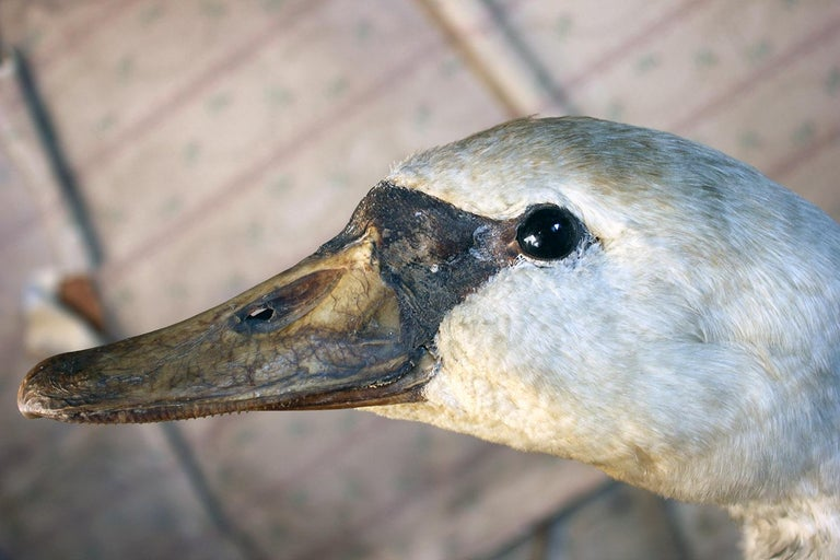 Early 20th Century Large Mature 19th Century Taxidermy Mute Swan, circa 1900