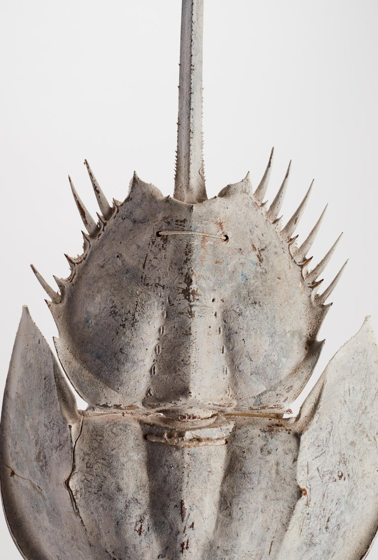 Late 19th Century A Marine Specimen a Horse Shoe Crab, Italy, 1870 For Sale