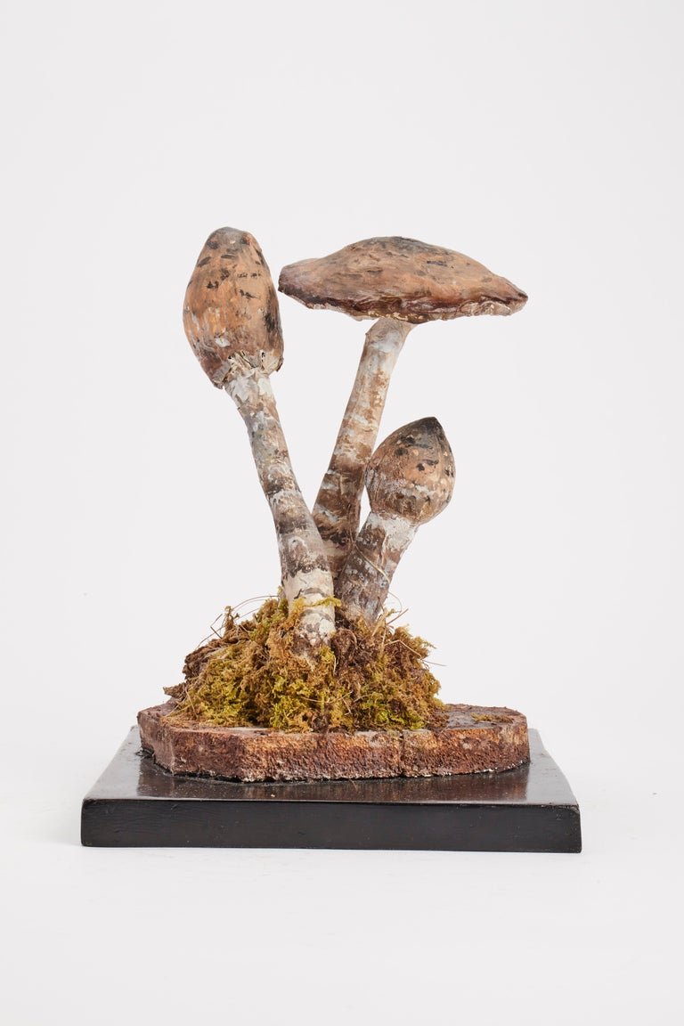 A model for the pharmacy of mushrooms. Specimen Agaricus Campestris, Made out of plaster water colored. Square wooden black base with moss and hay. It shows on the front one label with the scientific name of the specimen handwritten with ink.