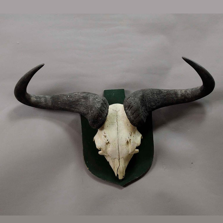 Black Forest Vintage African Wildebeest Trophy For Sale