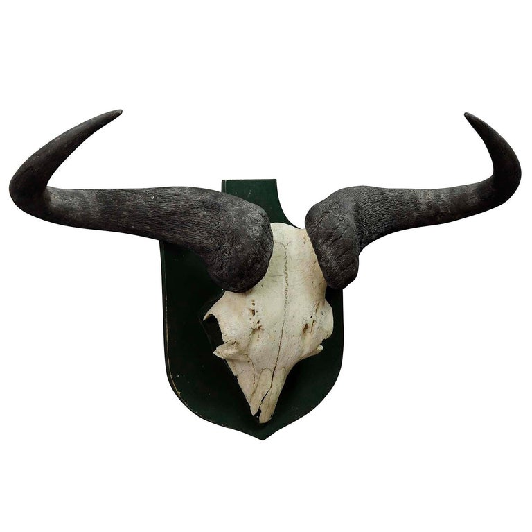 German Vintage African Wildebeest Trophy For Sale