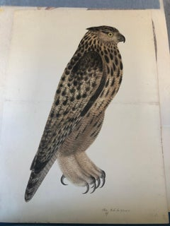 Rudbeck FALCON OWL - Limited First Edition Portfolio - #482 of 1499 portfolios