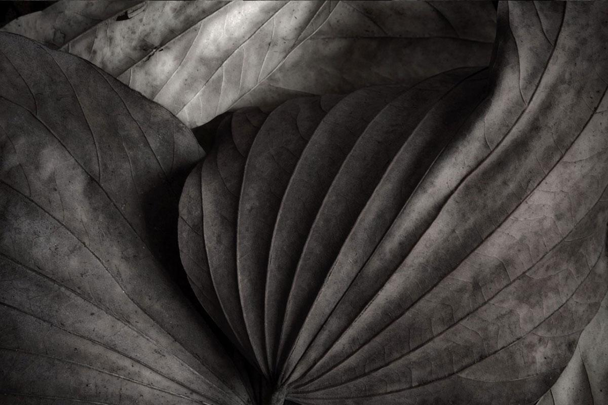 The secret life of Leaves 2  - Black and White - Nature Photography
