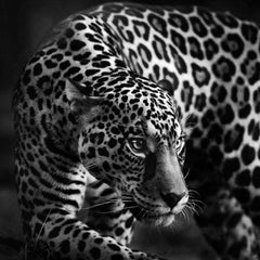 Feline Look (Animal Print, Black and White Photograph)