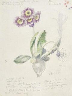 Auricula - Botanical drawing by British artist Maxwell Armfield
