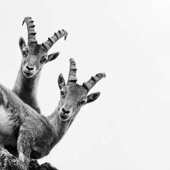 Capra Ibex 2, SwitzerlandMountain Photograph, Animal Black and White Photography