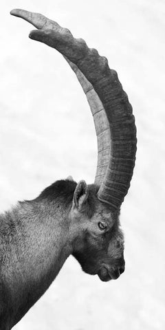 Capra Ibex Nr. 1, Black and White Animal Photography