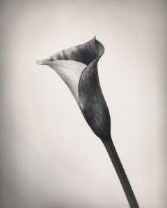Calla, Black and White Photography