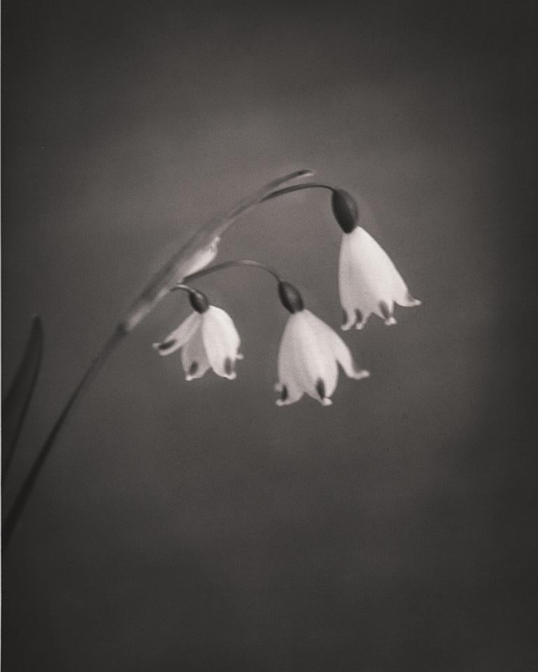 Silke Lauffs Black and White Photograph - Summer Snowflake