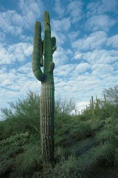 Giant Saguaro Cactus, Arizona