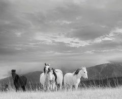 White Mountain Mustangs- Contemporary Black and White Photography of Wild Horses