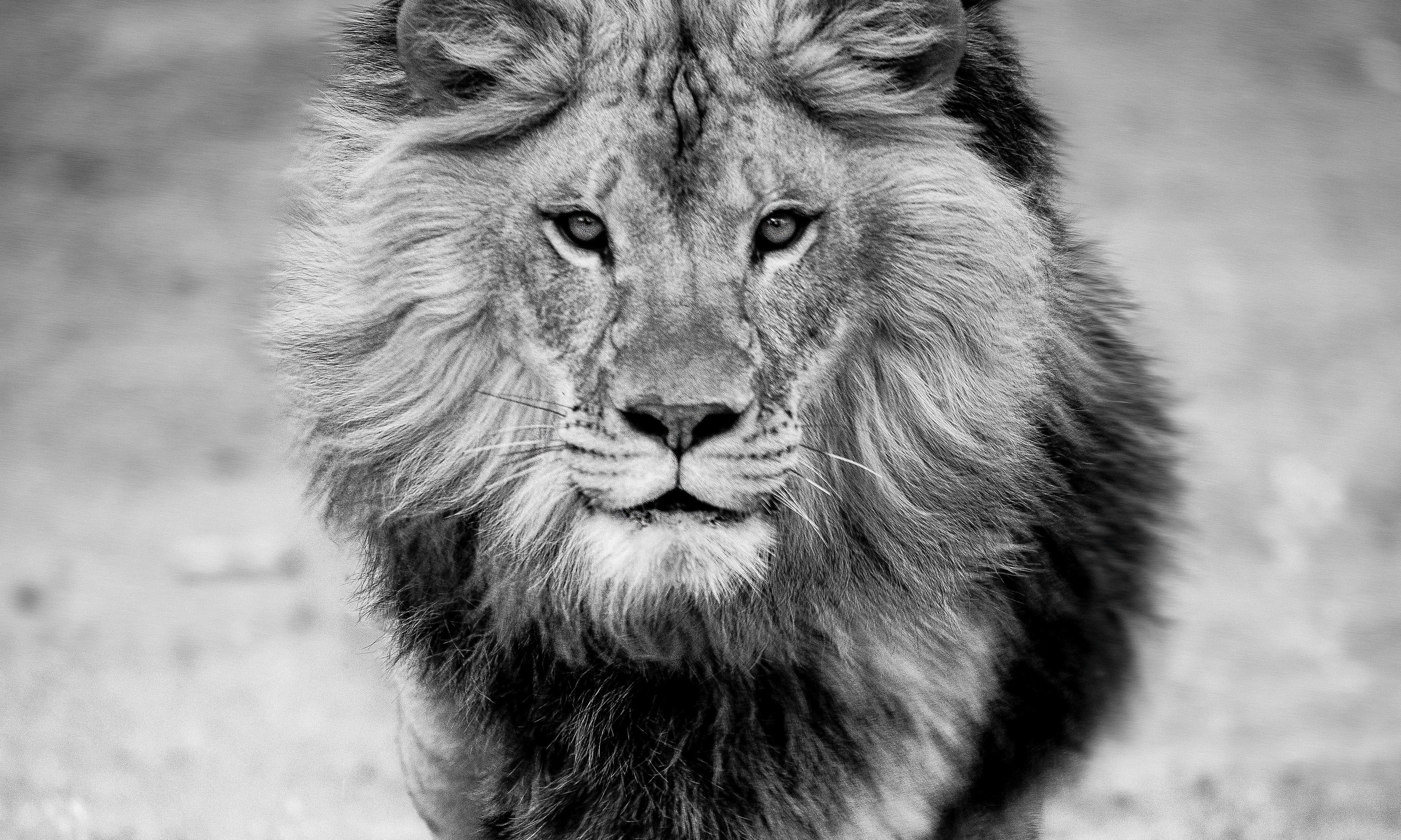 Shane Russeck - Panthera Leo - 40x60 Contemporary Black and White  Photography, Lion For Sale at 1stDibs