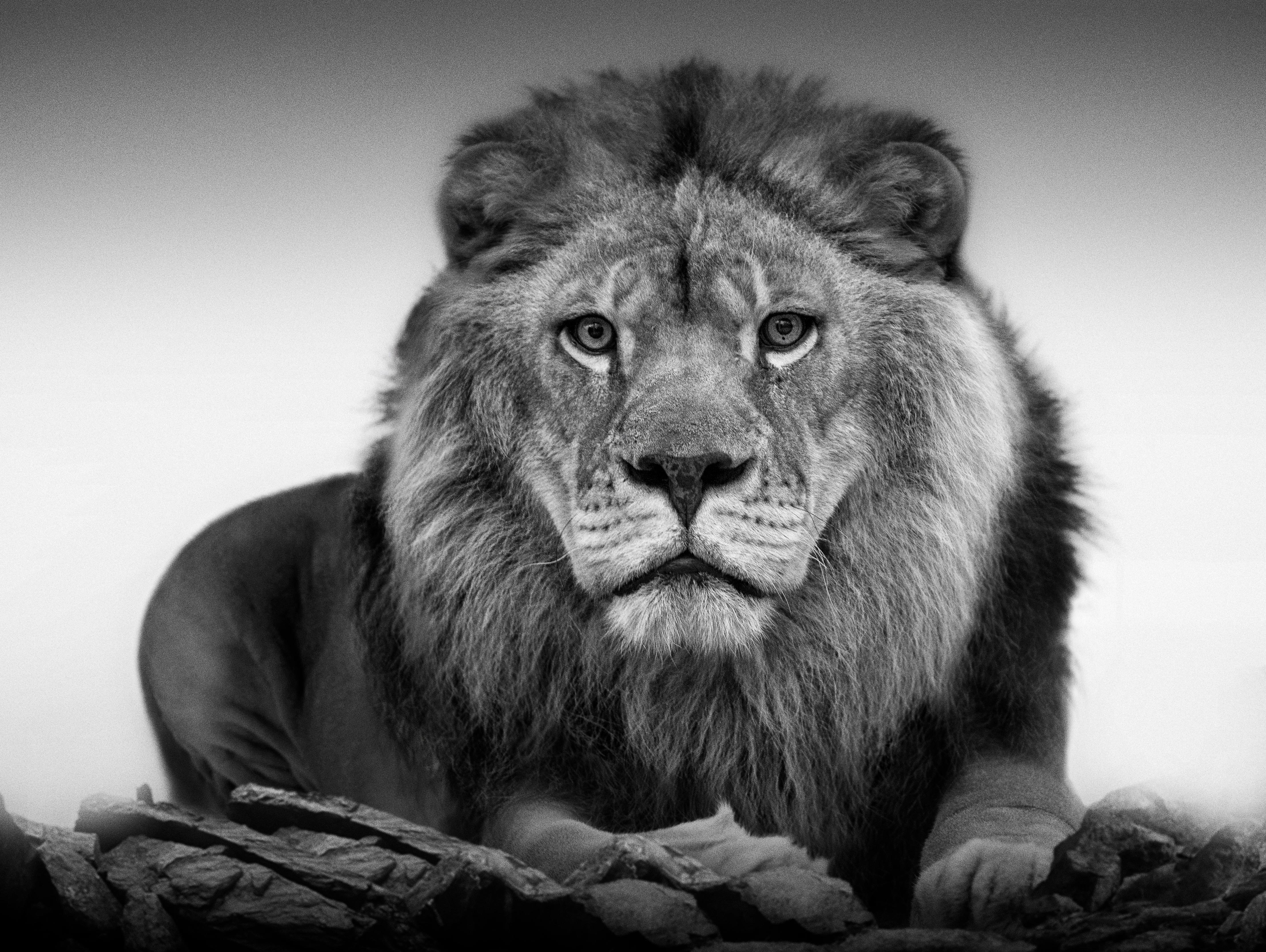 Shane Russeck - 1stdibs SPECIAL Lion Portrait - 20x30 Contemporary Black  and White Photography For Sale at 1stDibs