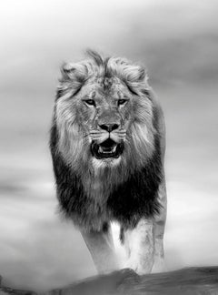 The Contender - 20x30 Contemporary Black and White Photography, Lion