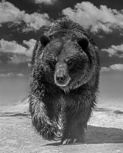 Grizzly Shores 80 x 110- Contemporary Black and White Photography of Grizzy Bear