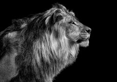 Lion Portrait II- 20x30 Contemporary Black and White Photography