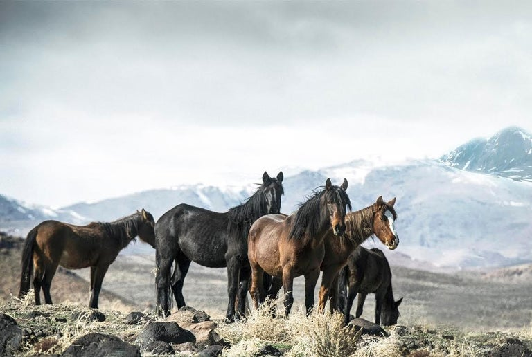Shane Russeck Black and White Photograph - Mountain Mustangs  36x48 - Contemporary Photography of Wild Horses
