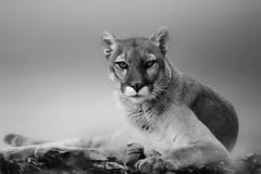 Cougar Contemporary Poster of - Fine Art Photography of Mountain Lion