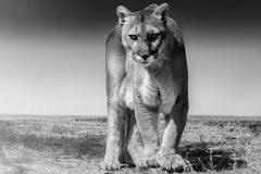 Cougar Print 60x40 - Fine Art Photography of Mountain Lion