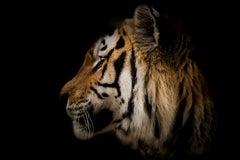 Tiger Portrait- 36x48 Contemporary Photography