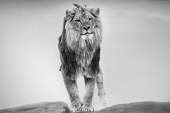 Lion King- 36x48 Contemporary Black &  White Photography (Open Edition)