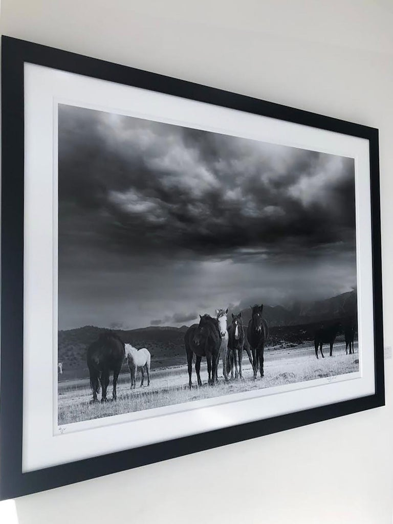 This is a contemporary black and white photograph of American Wild Mustangs.