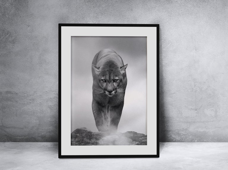 King of the Mountain - 36x48 Contemporary Black and White Photography, Cougar For Sale 2