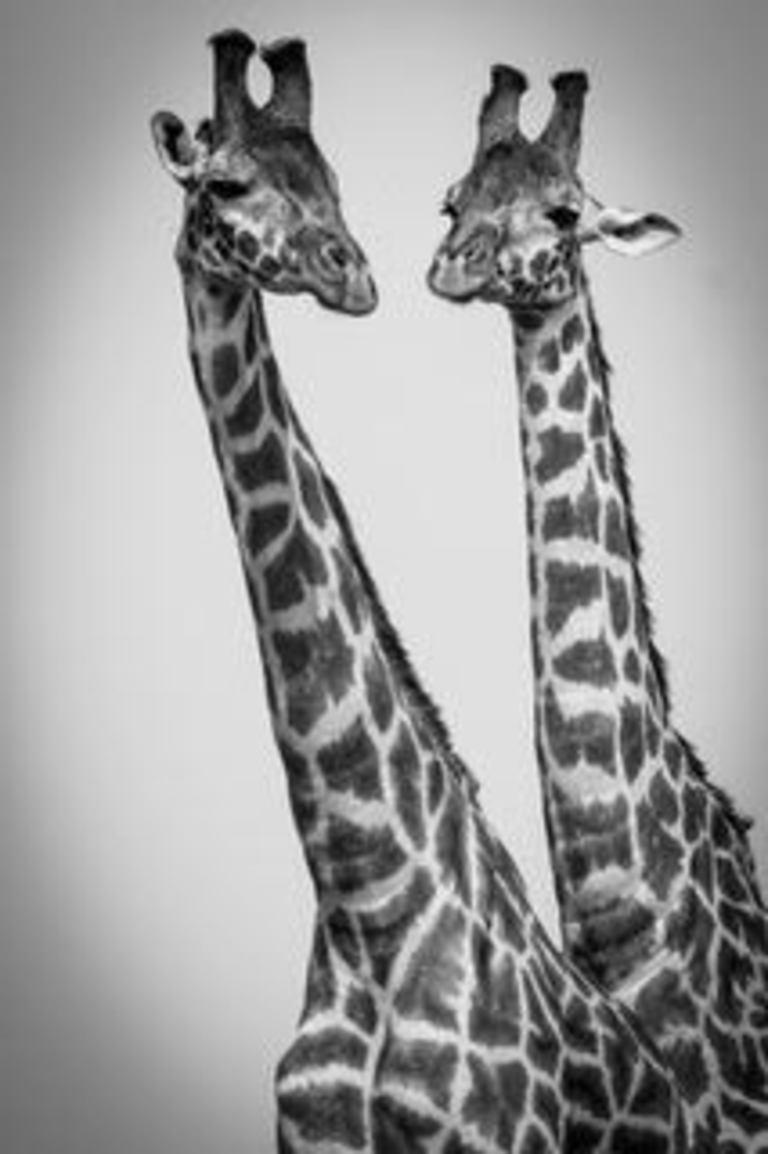 M & C Denis-Huot Black and White Photograph - Giraffes