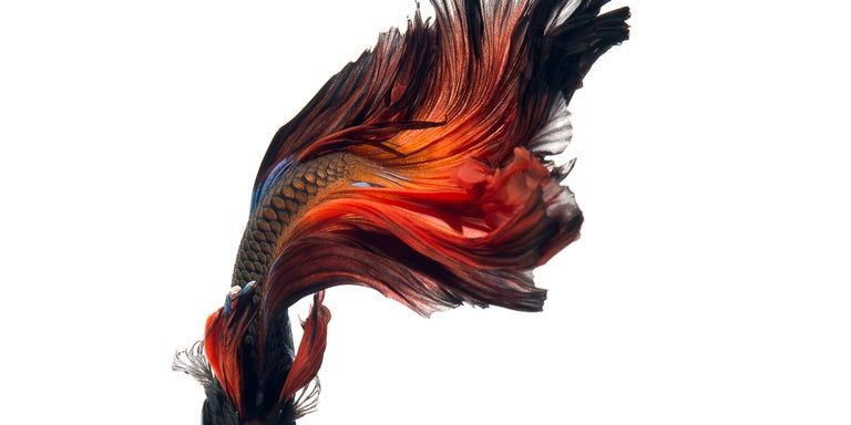Visarute Angkatavanich Color Photograph - Flame Dancer : abstract photography, portrait of nature, red white and blue art