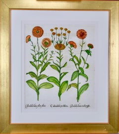 Besler Hand Colored Botanical Engraving of Calendula Flowers